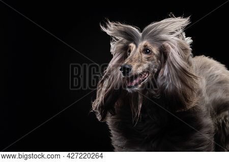 Funny Portrait Of An Afghan Hound On A Black Background. Long-haired Dog For Excellent Grooming