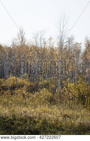 Autumn Transparent Forest Against A Pale Blue Sky. Yellow Leaves Flew From The Trees. Old, Dry Grass