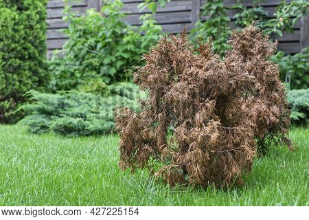 Dried Damaged Thuja In Green Garden, Other Green Bright Thujes Grow Near, Damade Caused By Drought,