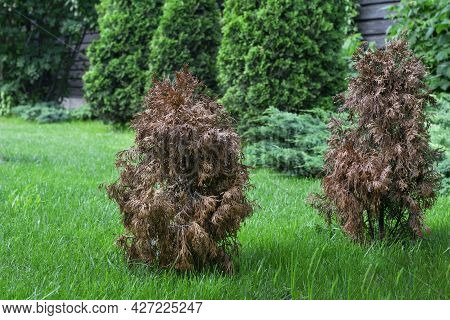 Two Dried Damaged Thujas In Green Garden, Other Green Bright Thujas Grow Near On Bright Succulent, D