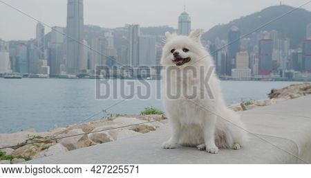 White Pomeranian with the background of Hong Kong city