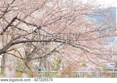 Sakura flower tree in Japan