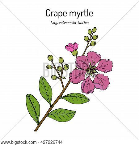 Crape Myrtle, Or Crepeflower Lagerstroemia Indica , State Flower Of Texas. Hand Drawn Botanical Vect