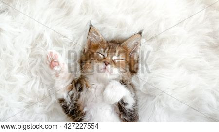 Gray Striped Kitten Sleeping. Kitty Sleeping On A Fur White Blanket. Concept Of Adorable Cat Pets.