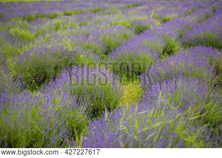 Lavender Flower Blooming Scented Fields In Endless Rows, Czech Republic, Europe
