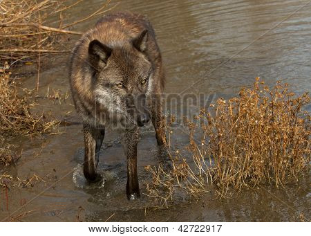 Wolf wading in the Water