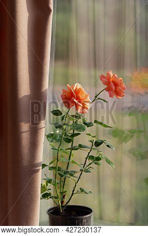 Growing Roses Indoors. Blooming Rose In A Flowerpot On The Windowsill. Floribunda Rose Easy Does It.
