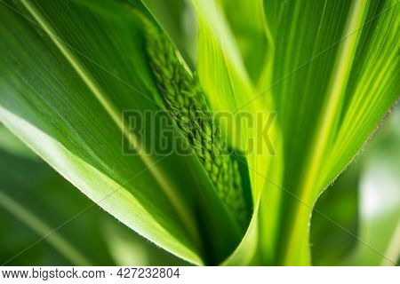 Close-up Picture Of Green Shoots Of Corn And Leaves. Farm Agriculture Of Corn. Young Corn At Agricul
