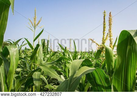 Young Maize On Farmland. Cultivating Corn. Agricultural Farm Cultivation Of Healthy Food.