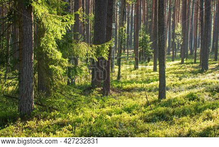 Summer Scenery Of Woodland. Beautiful Landscape. Early Morning In The Forest. Sunbeams Between Trees