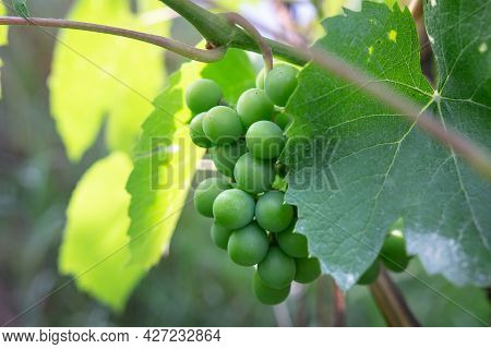 Green Unripe Grapes On A Branch In The Garden. Closeup Green Grapes. Ripening White Grapes. Agricult