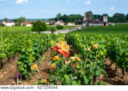 Green Walled Grand Cru And Premier Cru Vineyards With Rows Of Pinot Noir Grapes Plants In Cote De Nu