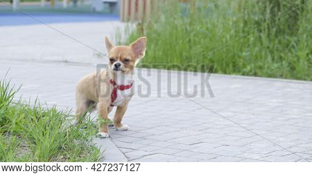 Little Brown Color Pomeranian Dog With Happy Smile Face Standing On The Floor