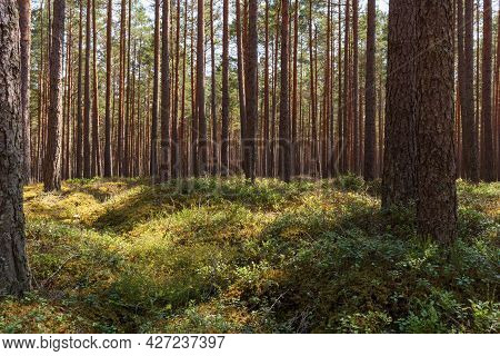 Pine Forest In Summer. The Land Is Overgrown With Plants, Grass And Moss. Untouched Nature In The Fo