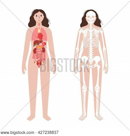 Internal Organs And Skeleton System In The Human Body. Skull, Arms, Legs, Knee Joints And Ribs Bones
