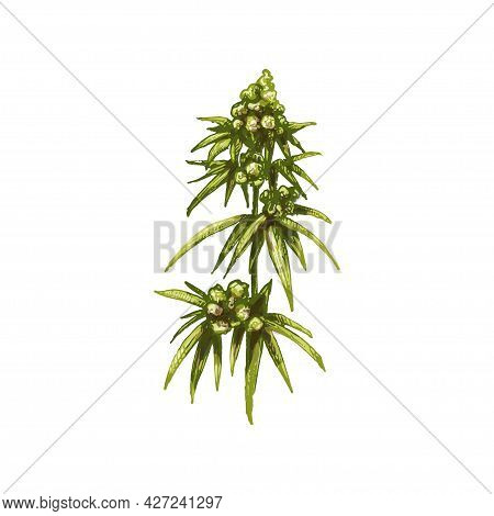 Marijuana Mature Plant With Leaves And Buds. Vintage Vector Hatching Color Hand Drawn Illustration I