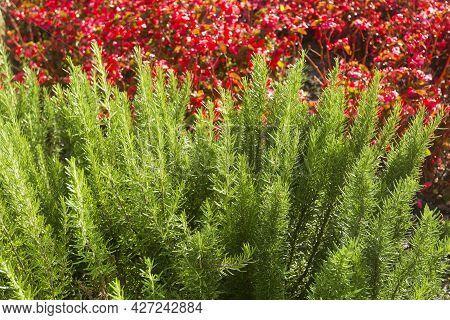 Salvia Rosmarinus - Aromatic Rosemary Plants In The Garden