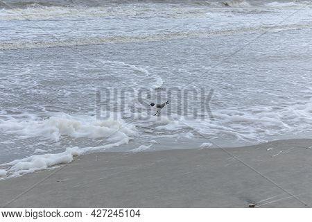 Black Headed Laughing Gull In Foamy Surf On The Shoreline, Horizontal Aspect