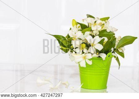 White Flowers Jasmine Local Flora Of Asia Green Tin Arrangement Flat Lay Postcard Style On Backgroun