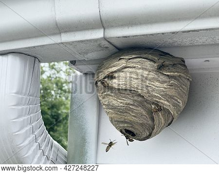 Wasp Nest Attached To Home Outdoor Wall And Roof As A Gray Paper Colony Of Yellow Jacket Hornets As