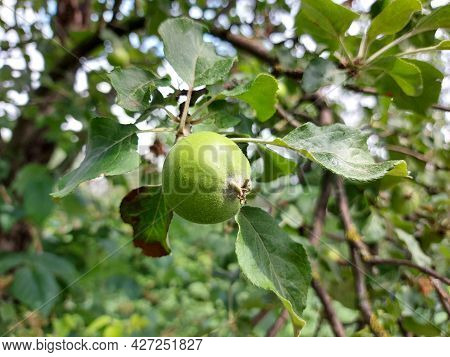 Apples Grow On A Branch In The Garden. Fruit Growing, Horticulture, Plant, Summer