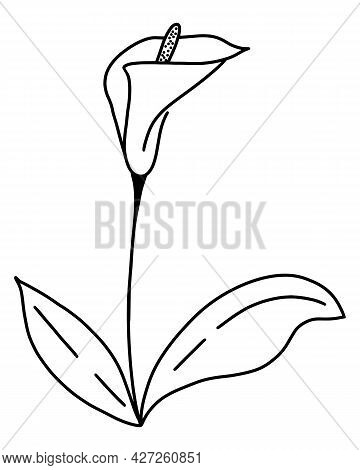 Single Flower Calla Hand Drawing Contour, Vector. Ilustration Of Beautiful Flower With Ieaves. Silho
