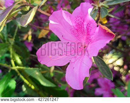 Azalea Flower Close-up In The Park. Macro Pink Flower