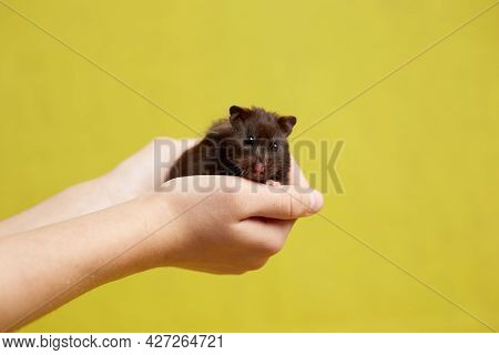 A Syrian Hamster Sits On A Hand On A Yellow Background.