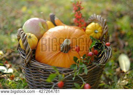 Pumpkins Assortment In A Wicker Basket In The Autumn Sunny Garden.vegetable Farm Abundance.farmed Or