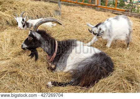 Black And White Goat With Kids In An Aviary. The Goat Lies In The Hay. High Quality Photo