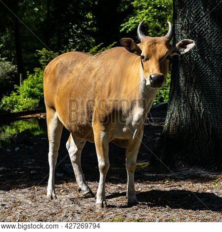 Banteng, Bos Javanicus Or Red Bull. It Is A Type Of Wild Cattle But There Are Key Characteristics Th