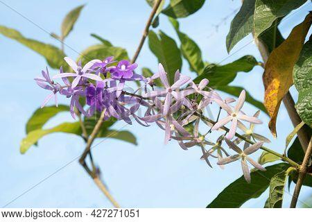 Queens Wreath, Bluebird Vine, Sandpaper Vine, Purple.