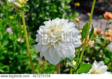 White Dahlia X Pinnata In Uppsala Botanical Garden