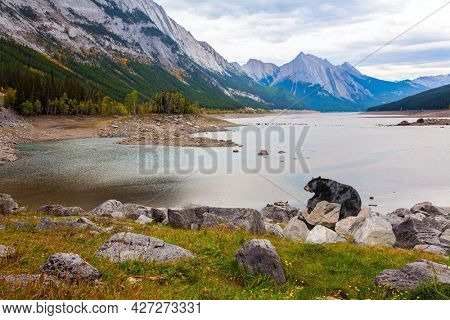 Gorgeous huge black bear resting on the rocks. The Canadian Rockies. The shallow lake is fed by melted glacial waters. Autumn travel to Canada. Cloudy day on a mountains