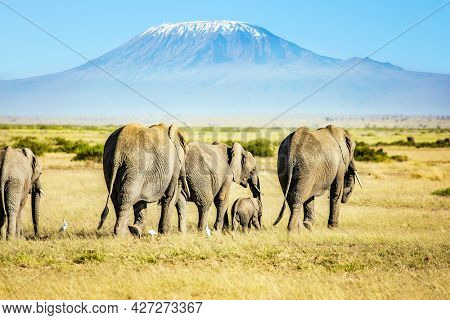 Herd of wild elephants grazes at the foot of famous Mount Kilimanjaro with its snow-capped peak. Wild animals are freely available.