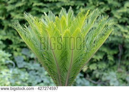 Background Of The Palm. Selective On Fresh Green Leaves Of A Japanese Sago Palm (cycas Revoluta) Ove