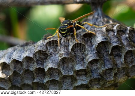 Close-up Of A Wasp's Nest. A Lone Wasp Sits On A Nest. A Yellow-black Wasp. Dangerous Insect.