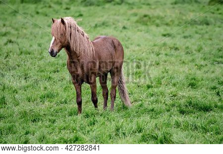 Single Icelandic Chestnut Horse Grazing On The Green Meadow In Iceland