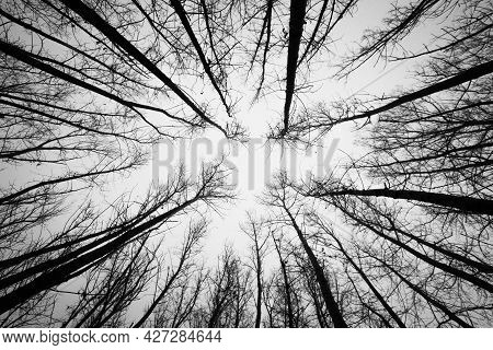 Dry Tree Branches Silhouette On A Background Of Grey Sky In Autumn Forest. Bottom Up View.