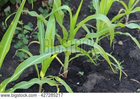 Close-up, Young Green Maize Sprouts, Shoots, Swaying In The Wind In Sunlight, On Cornfield. Corn Pla