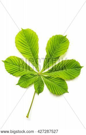 Wonderful Lush Green Leaf Of Chestnut Tree With Vein Textured Pattern And Long Stem Lies On White Ba