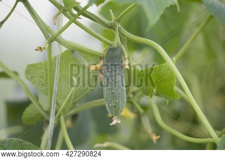 Cucumbers Grown In A Greenhouse.a Good Harvest Of Cucumbers.