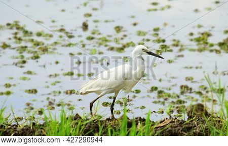 White Egret - Egret In The Wild, Egrets Looking For Food In The Swamp