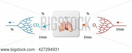 Human Bloodstream - Lungs, Didactic Board Of Anatomy Of Blood System Of Human Circulation, Cardiovas