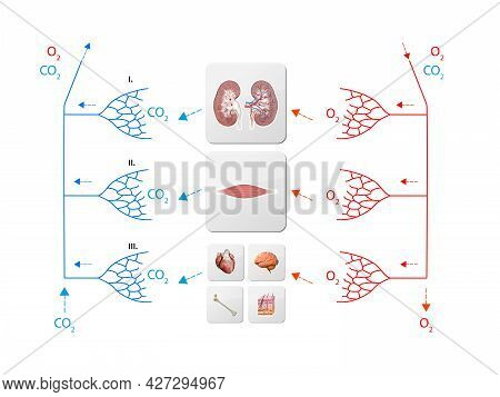 Human Bloodstream - Stomach, Didactic Board Of Anatomy Of Blood System Of Human Circulation, Cardiov