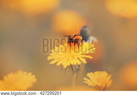 A Small Fluffy Bumblebee Collects Pollen And Nectar From A Bright Yellow Blooming Dandelion Flower O