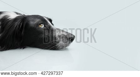 Profile Dog Puppy Looking Away And Lying Down With Sad Expression On Bgray Colored Background