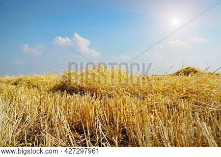 Beautiful Dry Stubble On The Field Against The Sky