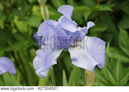 Tall Blue Bearded Iris, Iris Germanica Variety Crystal Blue, Flower With A Blurred Background Of Lea