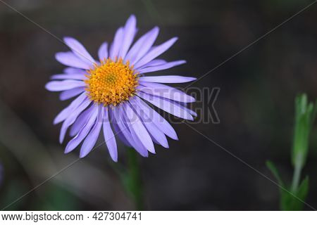 Weak Violet Aster, Aster Flaccidus, Flower With A Yellow Centre And A Dark Background Of Blurred Lea